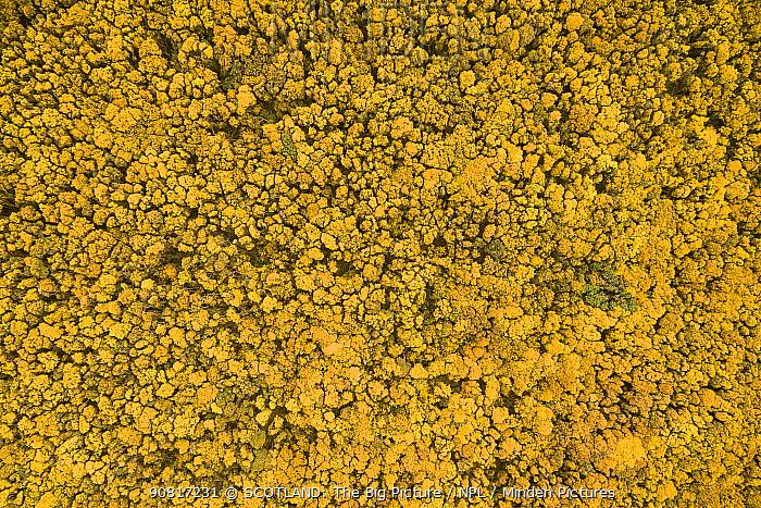 Flowering Gorse (Ulex europaeus) seen from above. Hopeman, Scotland, UK, May.