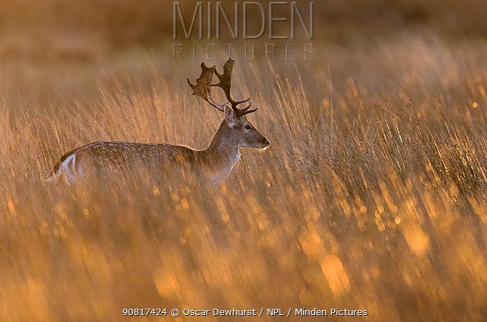 Fallow deer (Dama dama) stag walking through long grass at sunrise. Richmond Park, London, UK. January.