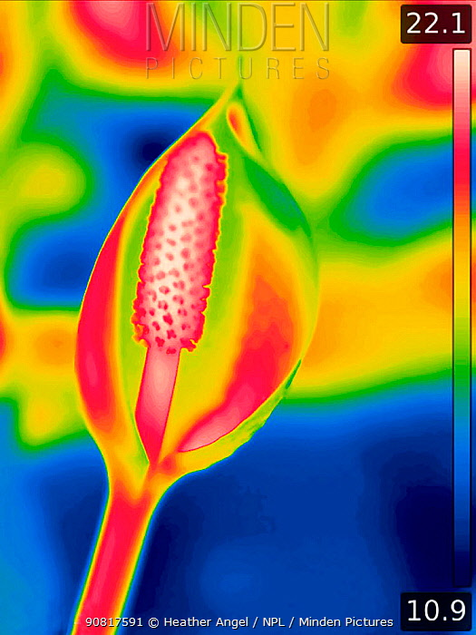 Skunk cabbage (Lysichiton americanus), taken with infra-red thermograph camera in swamp area. Spadix hottest at 22C. In cultivation, Surrey, England, UK. Native to Canada and USA. Sequence 2/2.