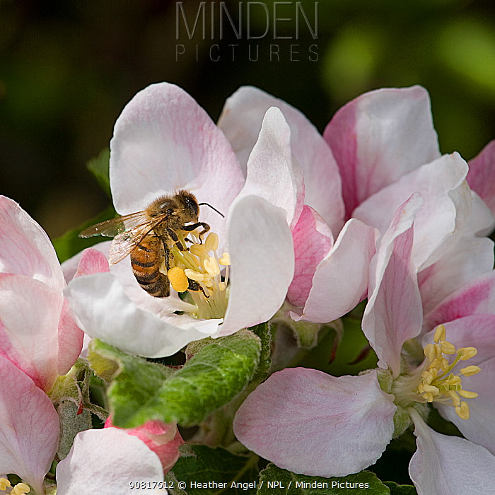 Honey bee (Apis mellifera) forages on pollen in Apple (Malus domestica) flower, collecting pollen in pollen basket. In garden, Surrey, England, UK. May.