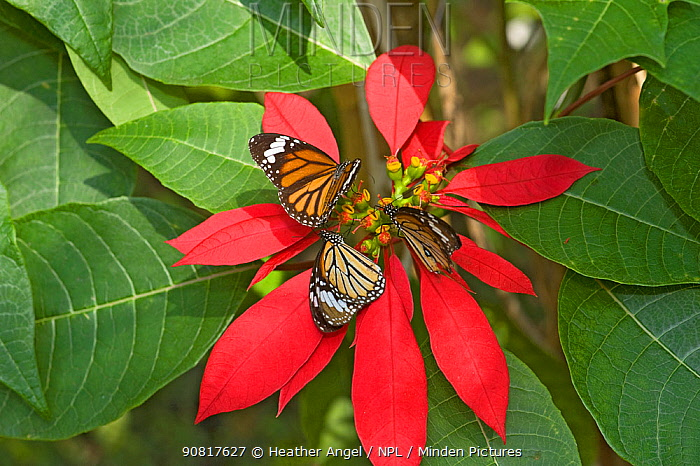 Monarch butterflies (Danaus plexippus), three nectaring on Poinsettia (Euphorbia pulcherrima), resting on red bracts. In butterfly house, Xishuangbanna, Yunnan Province, China.