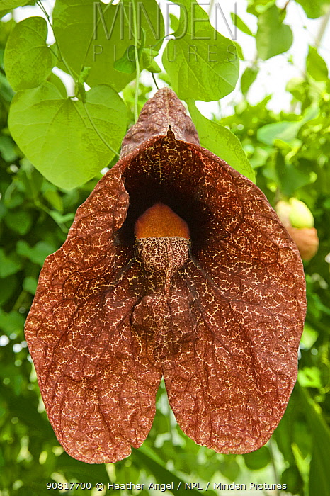 Brazilian Dutchman's pipe flower (Aristolochia gigantea) with green inflated pouch. Flower smells of carrion to attract fly pollinators. Cultivated in glasshouse, Surrey, England, UK. Native to Brazil.