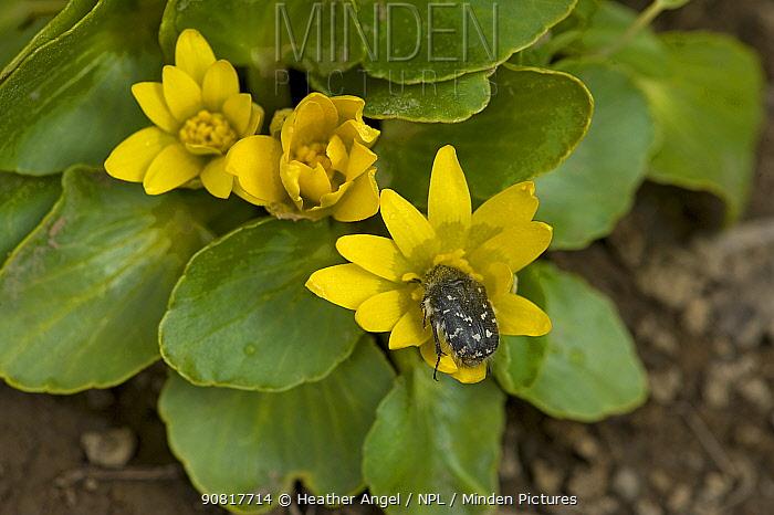 Blossom scarab beetle (Epicometis hirta) feeding on Ficaria flower (Ficaria fascicularis). In snow melt area, Turkey. May.