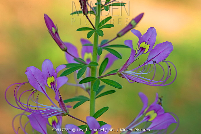 Spiderplant (Cleome hirta) flowerhead.Patterns on two banner petals serve as nectar guides. Tanzania.