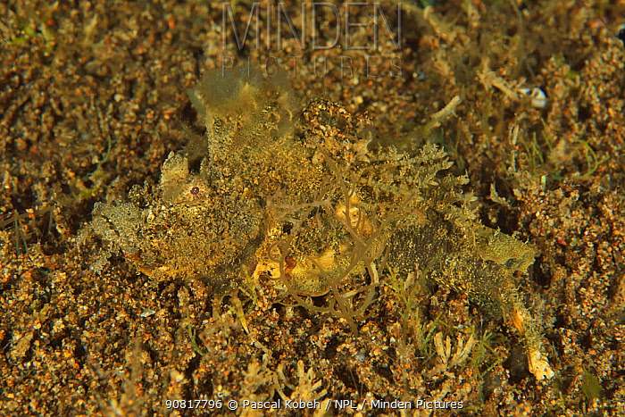 Spiny devilfish (Inimicus didactylus) on the sand which it imitates and whose has been cut by a predator, Sulu sea, Philippines