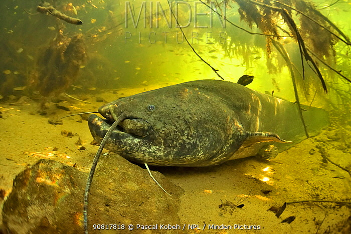 Wels catfish (Silurus glanis) on the bottom of the river. Its face has a scar probably caused by a fishing hook. Cher River, Loir-et-Cher Department, France