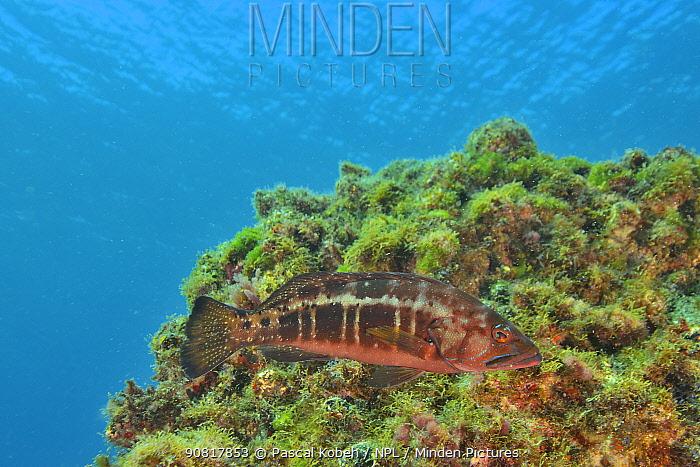 Blacktail comber (Serranus atricauda) on the reef, Canary Islands