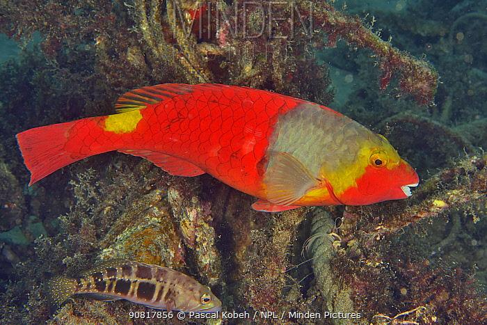 European parrotfish (Sparisoma cretense) female with a Blacktail comber (Serranus atricauda) on the reef, Canary Islands