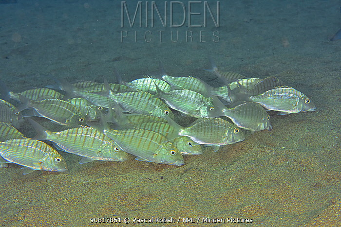 Group of sand steenbras / Striped seabreams (Lithognathus mormyrus) eating, Canary Islands