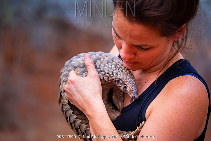 Vet cradling a young orphaned Temminck's Ground Pangolin (Smutsia temminckii) during its rehabilitation at the Rhino Revolution facility in Limpopo Province, South Africa. This orphan was found abandoned after its mother was taken by poachers for the illegal wildlife trade