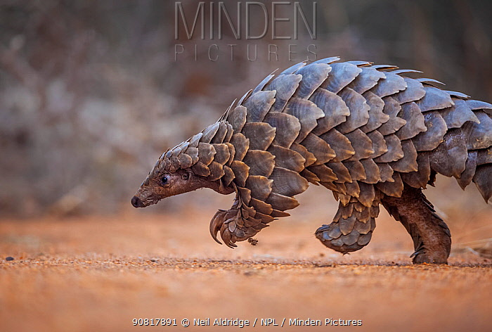 Temminck's ground pangolin (Smutsia temminckii) foraging during a soft release from the Rhino Revolution rehabilitation facility in South Africa. This pangolin was saved from poachers in an anti-poaching sting operation.