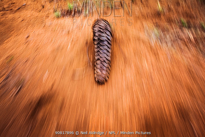 Temminck's ground pangolin (Smutsia temminckii) foraging for ants during a managed release back into the wild following its rehabilitation at the Rhino Revolution facility, Limpopo Province, South Africa. This pangolin was rescued during a sting operation from poachers.