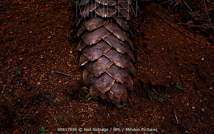 Tail of an adult Temminck's Ground Pangolin (Smutsia temminckii) showing the scales that make pangolins the world's most illegally trafficked mammal. This pangolin was rescued during a sting operation from poachers and rehabilitated at the Rhino Revolution facility in Limpopo Province, South Africa.