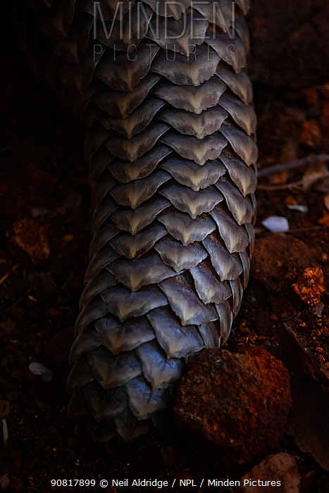 Tail of an adult Temminck's Ground Pangolin