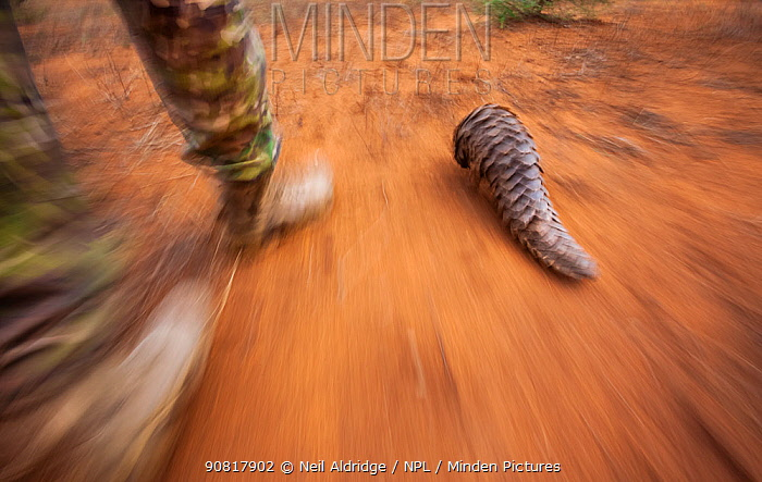 Anti-poaching guard walks alongside an adult Temminck's ground pangolin (Smutsia temminckii) while it forages for ants during its rehabilitation at the Rhino Revolution facility, South Africa.