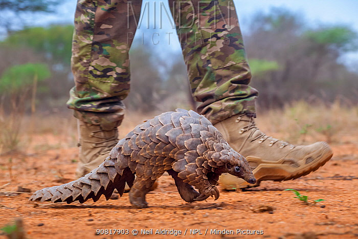 Anti-poaching guard walking alongside an adult Temminck's ground pangolin (Smutsia temminckii) while it forages for ants during its rehabilitation at the Rhino Revolution facility in South Africa. This pangolin was saved from poachers.