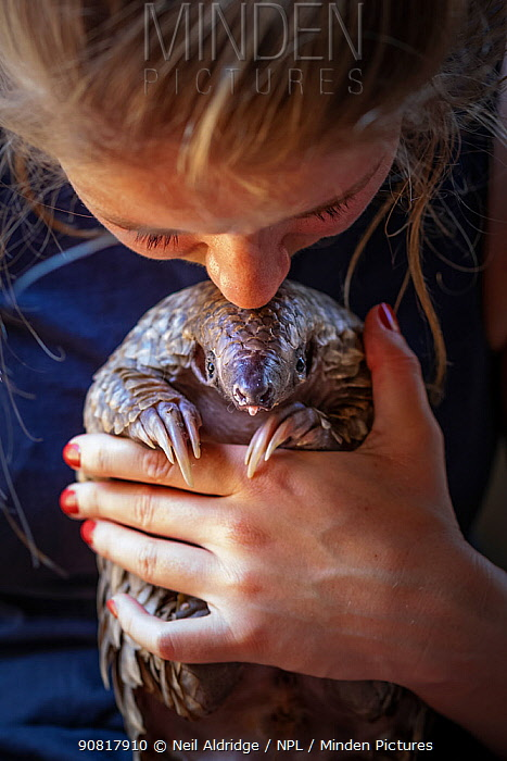 Vet cradling a young orphaned Temminck's ground pangolin (Smutsia temminckii) during its rehabilitation at the Rhino Revolution facility in Limpopo Province, South Africa. This orphan was found abandoned after its mother was taken by poachers for the illegal wildlife trade.
