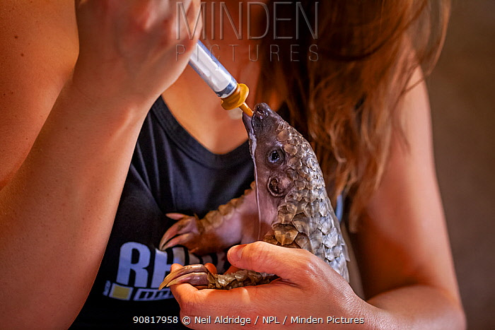 A young orphaned Temminck's ground pangolin (Smutsia temminckii) is hand-fed with cat milk at the Rhino Revolution facility in South Africa. This pangolin was found abandoned after its mother was taken by poachers.