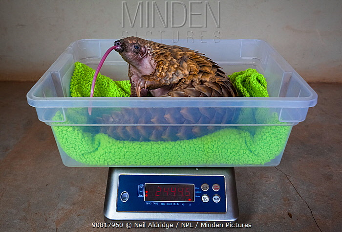 Orphaned Temminck's ground pangolin (Smutsia temminckii) is weighed to monitor its condition during rehabilitation at the Rhino Revolution facility in South Africa. This orphan was found abandoned after its mother was taken by poachers.