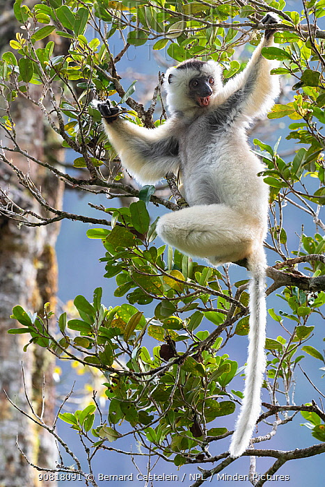 Silky sifaka (Propithecus candidus) in tree, Marojejy National Park, Madagascar. Critically endagered species.
