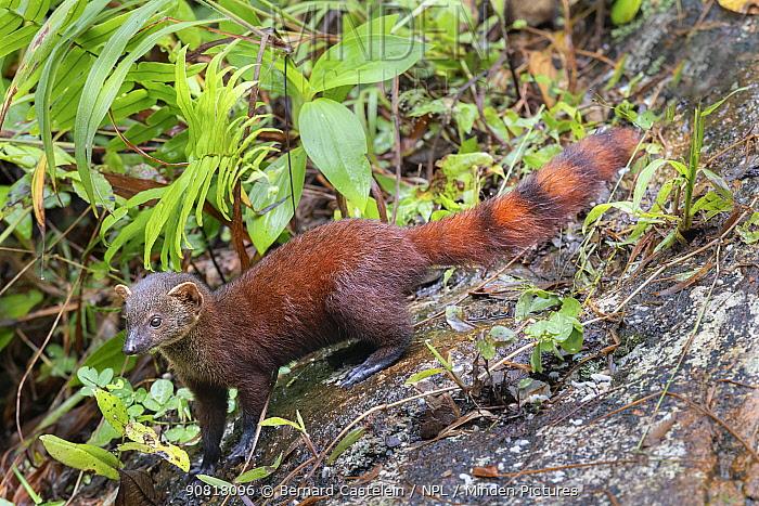 Ring-tailed Mongoose (Galidia elegans), Marojejy NP, Madagascar