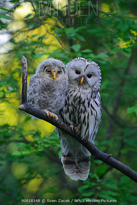 Ural owl (Strix uralensis) female with its fledgling on a branch, Tartumaa county, Southern Estonia. June