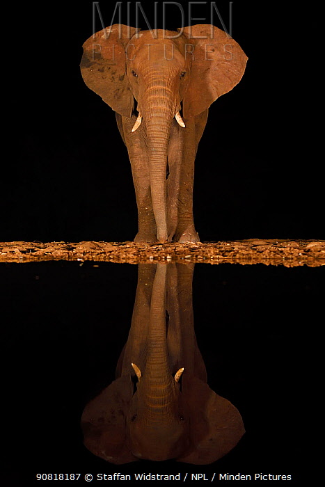 African bush elephant, (Loxodonta africana) at night, reflected in waterhole, South Africa