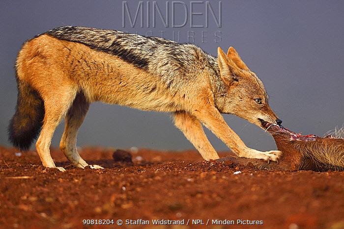Black-backed jackal (Canis mesomelas) scavenging on dead pig Zimanga Private Nature Reserve, KwaZulu Natal, South Africa