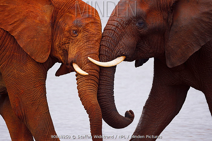 African bush elephant, (Loxodonta africana) two playing head to head, Zimanga Private Nature Reserve, KwaZulu Natal, South Africa