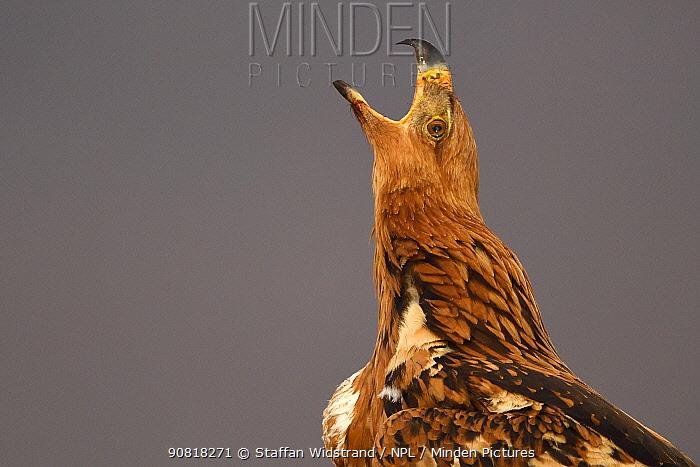 Tawny eagle (Aquila rapax) calling, Zimanga Private Nature Reserve, KwaZulu Natal, South Africa