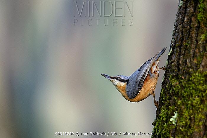 Eurasian nuthatch (Sitta europaea) on tree trunk in winter, West France