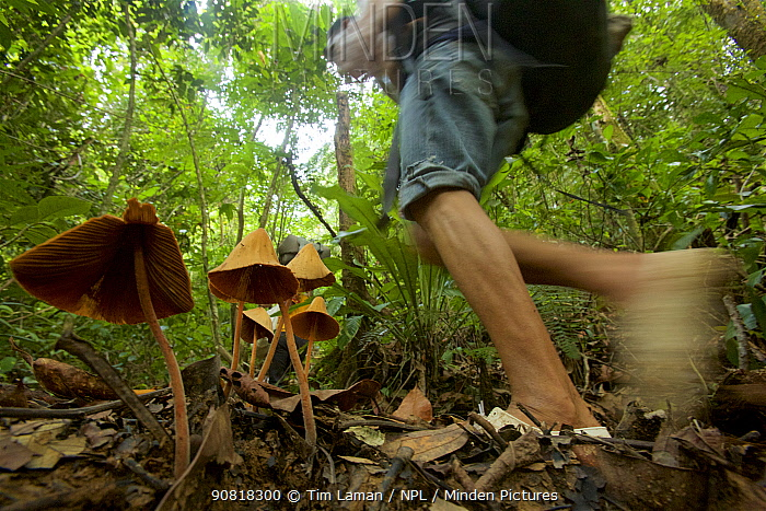 Porter from Haramunting Village carrying expedition gear into Batang Toru Forest, walking past large fungi. Batang Toru Forest Sumatran Orangutan Conservation Project, North Sumatran Province,  Indonesia.