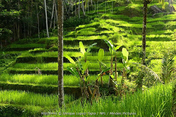 Palms growing in front of Rice (Oryza sativa) terrace. Jatiluwih Green Land, Bali, Indonesia. 2015.