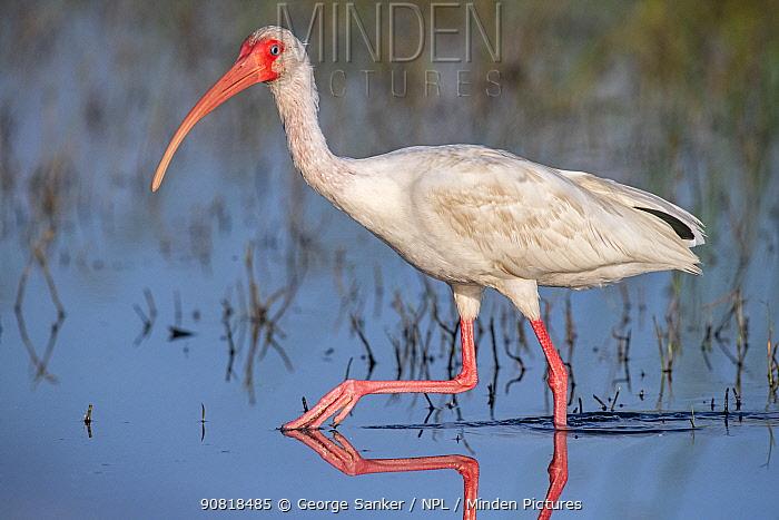 American white ibis (Eudocimus albus) wading in morning light. Myakka River State Park, Florida, USA, March.