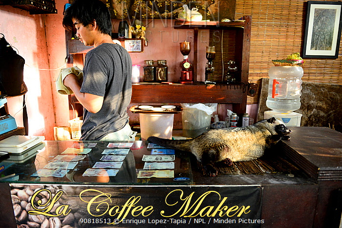 Coffee shop with Asian palm civet (Paradoxurus hermaphroditus) on counter. Many civets are drugged to sleep quietly and not escape. Coffee beans are fed to civets, ferment in the gut, excreted and used in expensive coffee, Luwak. Bali Island, Indonesia. 2015.