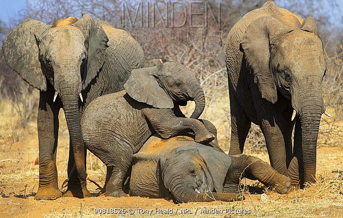 Elephant (Loxodonta africana) babies playing, Etosha National Park,Namibia.