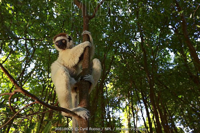 Verreaux's sifaka (Propithecus verreauxi) climbing tree in rainforest. Berenty Reserve, Madagascar.