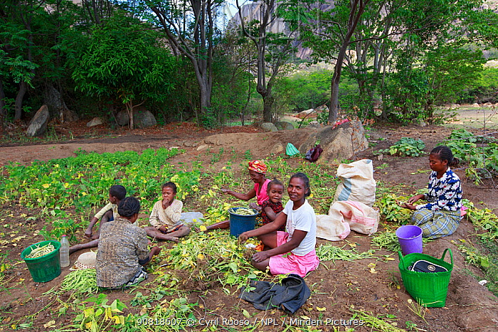 Women and children working on Bean harvest on Anja Community Reserve. Lemurs look for food in this cultivated area of the reserve. Madagascar.