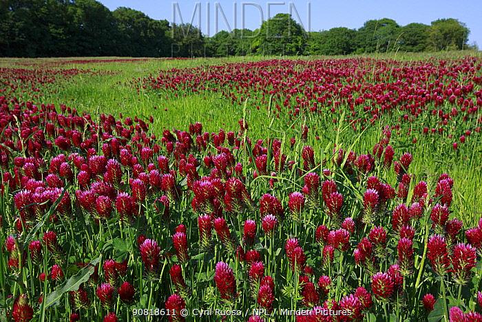 Crimson clover (Trifolium incarnatum), grown as green manure. Yonne, Bourgogne-Franche-Comte, France. April.