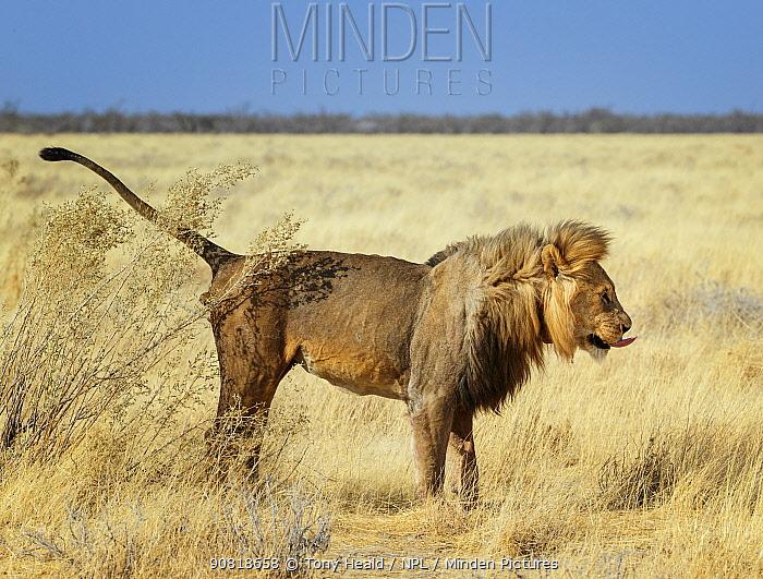 Lion (Panthera leo) male, marking territory, Etosha National Park Namibia.