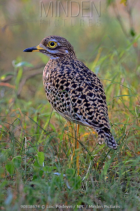 Spotted thick-knee (Byrhinus capensis) in bush, Masai Mara, Kenya.