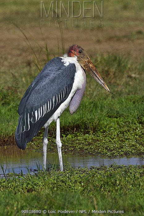 Marabou stork (Leptoptilos crumenifer) foraging in marsh, Masai Mara, Kenya.