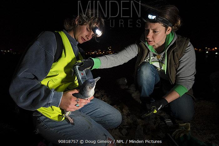Researchers from Earthcare St Kilda scanning a moulting Little penguin (Eudyptula minor) for microchip. St Kilda breakwater, Melbourne, Victoria, Australia. December 2016. Model released.