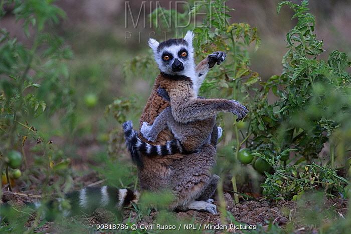 Ringed-tailed lemur (Lemur catta) female with baby amongst Tomato crop, Anja Community Reserve. Madagascar.