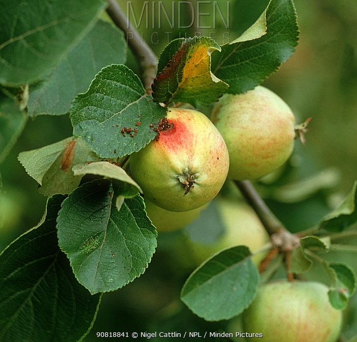 Codling moth (Cydia pomonella) caterpillar exit hole on young Apple (Malus domestica) fruit.