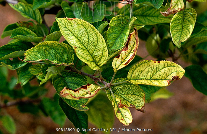 Apple (Malus domestica) tree leaves with interveinal chlorosis, symptom of iron deficiency.