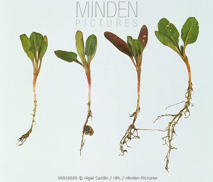 Sugar beet (Beta vulgaris) seedling with root damage caused by Garden symphylan (Scutigerella immaculata), a soil pest. England, UK.