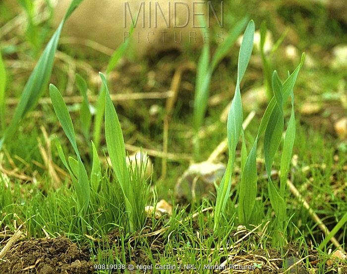 Blackgrass (Alopecurus myosuroides) amongst annual arable weeds, growing after Barley (Hordeum vulgare) crop harvest.