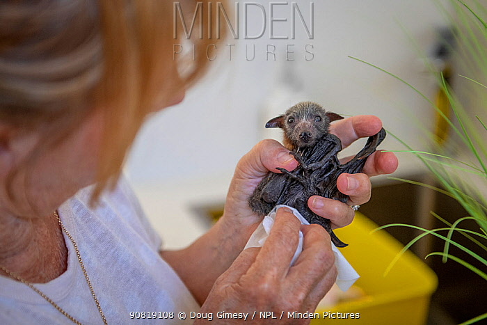 Grey-headed Flying-fox (Pteropus poliocephalus) very young male 'Dinky' , cleaned by wildlife carer Bev Brown. This bat was found born two weeks premature with umbilical cord still attached. Black Rock, Victoria, Australia. Model released.