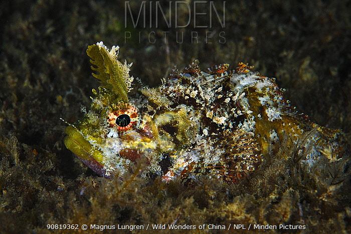 Mozambique scorpionfish (Parascorpaena mossambica) with distinctive horns. Xiaoliuqiu Island, Taiwan